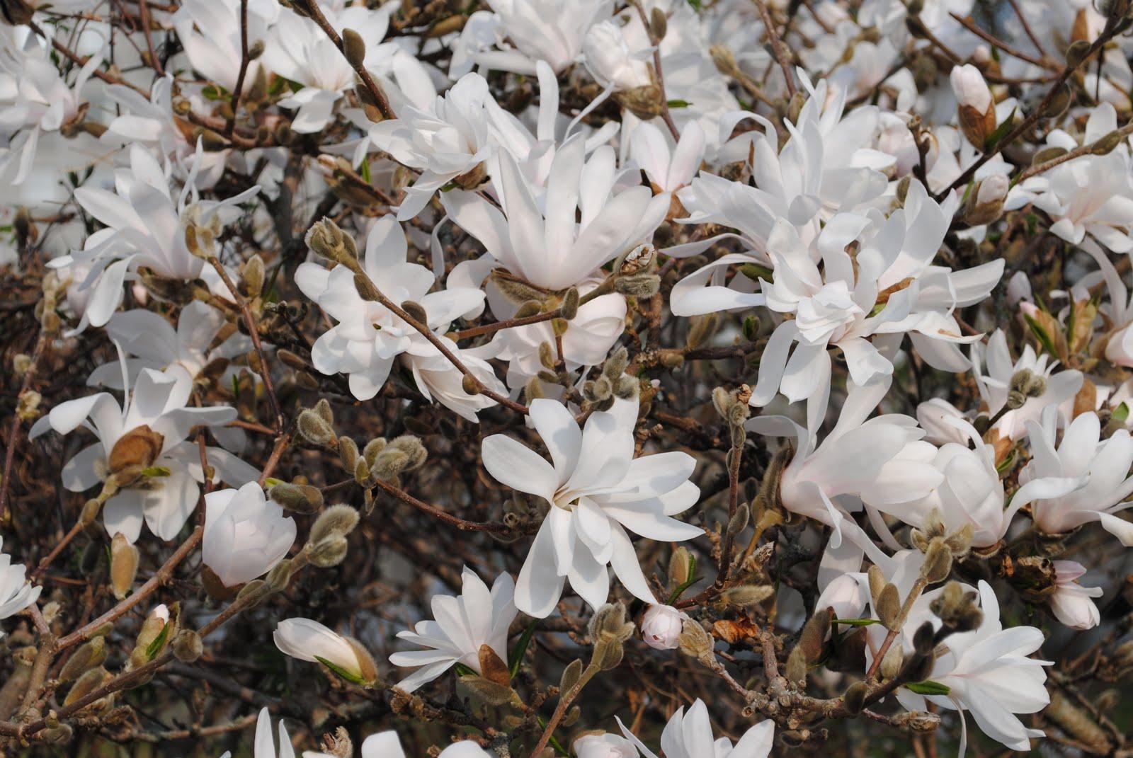 magnolia stellata härdighet