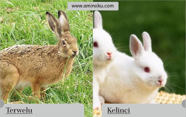 Perbedaan antara kelinci dan terwelu