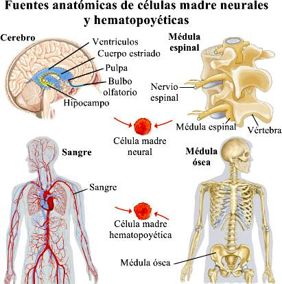 células madre neuronales y hematopoyéticas