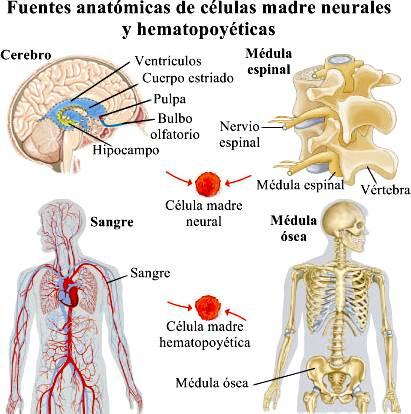 Célula madre: células madre embrionarias y adultas - Transferencia ...