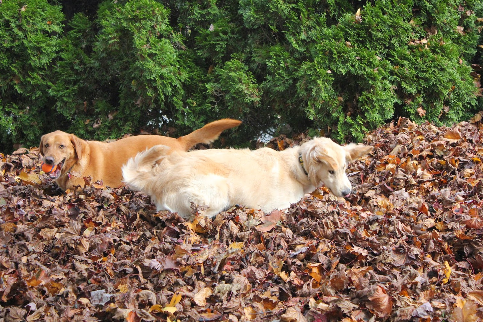dogs jumping in leaves to stay fit during the Fall