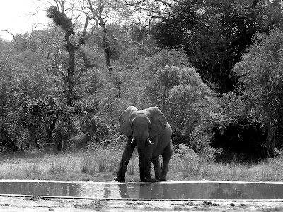 Kruger National Park, South Africa, elephant, black & white
