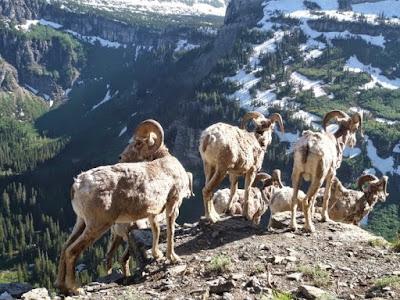 kambing gunung