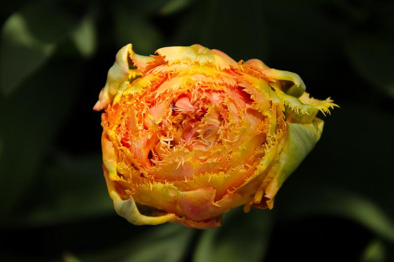 tulip - netherlands 2017