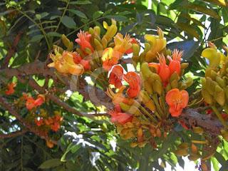 Castanospermum-australe-main.jpg