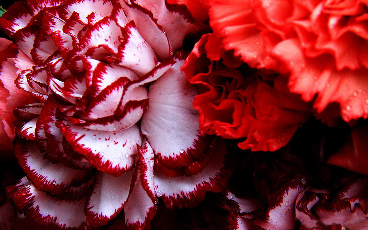 Carnations! The Flower of the Month for January | Information ...