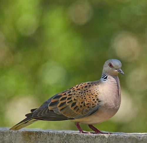 Photo of European turtle dove (Streptopelia turtur)