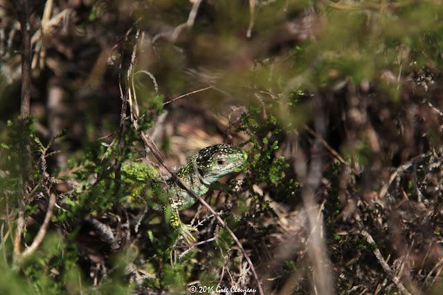LEZARD VERT (Lacerta bilineata) femelle