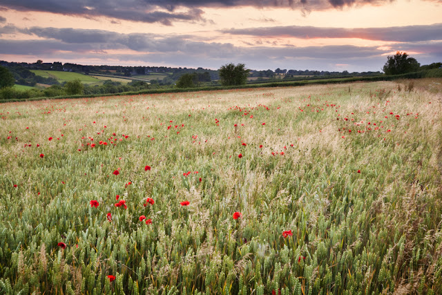 looking over some poppies under the setting sun between burford and stow on the wold