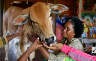 A calf being hand-fed