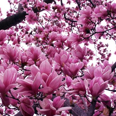 Magnolia X Jane Magnolia Trees