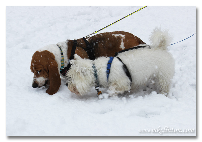Bentley Basset and Pierre Westie tasting the snow