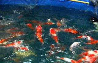 memelihara ikan koi,cara budidaya ikan koi di aquarium,budidaya ikan koi di kolam beton,budidaya ikan koi di kolam terpal,cara membedakan koi jantan dan betina,