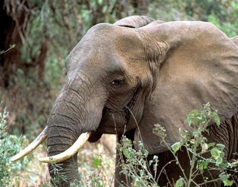 All About Wildlife: African Forest Elephant (Loxodonta ...