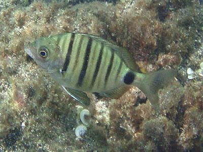 Spitzbrasse - Diplodus puntazzo © Canarian Sea 01