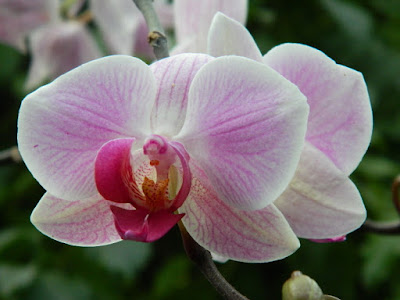 Phalaenopsis Moth Orchid purple and white hybrid at the Allan Gardens Conservatory by garden muses-not another Toronto gardening blog