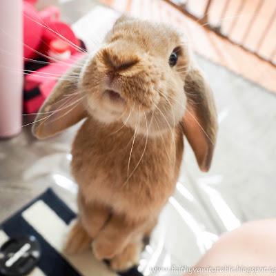 How to Adopt a Rabbit in Singapore