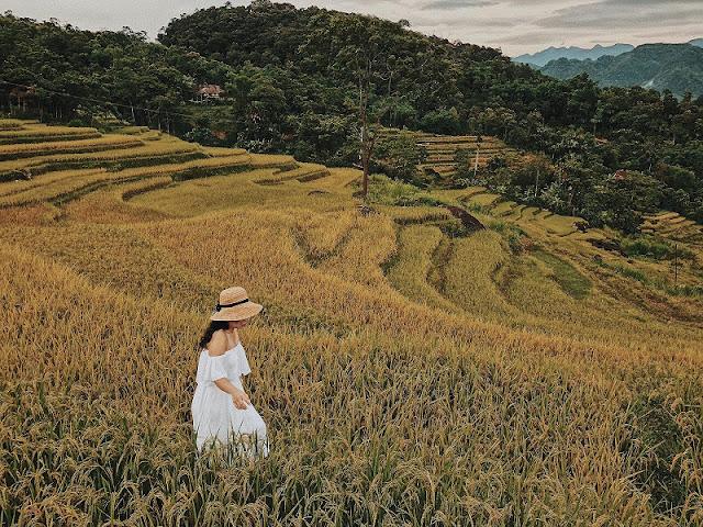 Vietnam is wonderful in ripen rice season 7