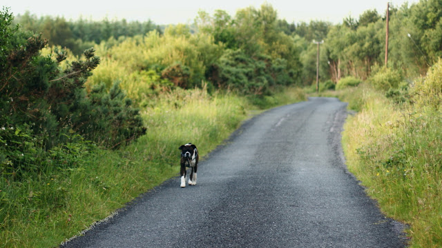 boxer dog walking on a Connemara road