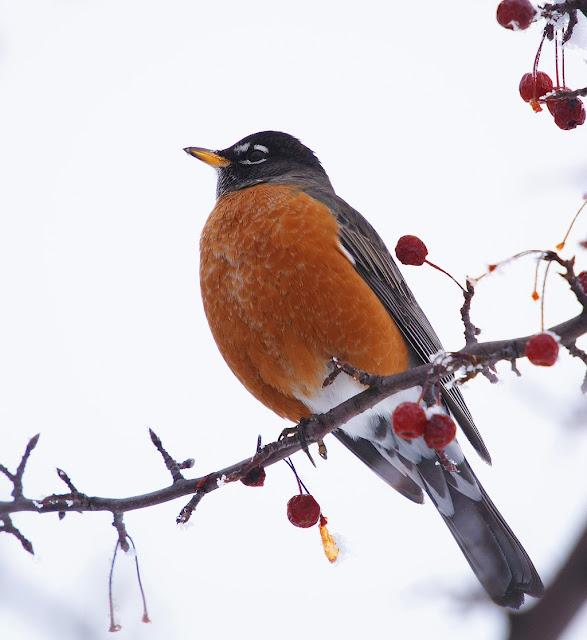 american robin wallpaper images