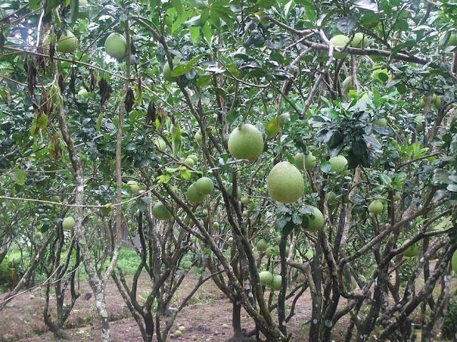 Cây Bưởi - Citrus maxima - Nguyên liệu làm thuốc Chữa Cảm Sốt