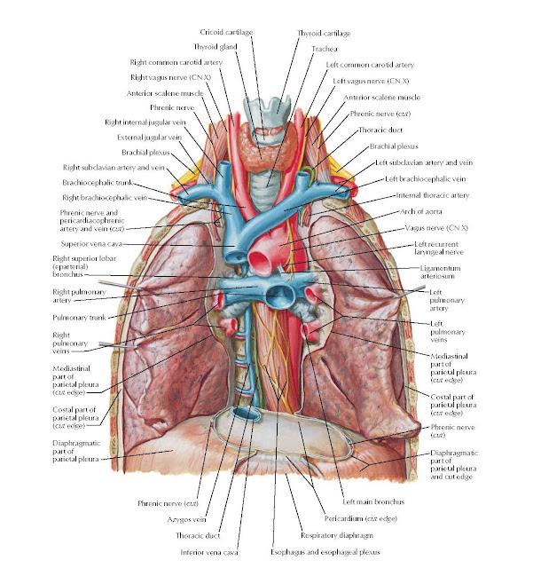 Great Vessels of Superior Mediastinum Anatomy  Cricoid cartilage Thyroid cartilage, Thyroid gland, Right common carotid artery Right vagus nerve (CN X) Anterior scalene muscle, Phrenic nerve, Trachea, Left common carotid artery Left vagus nerve (CN X), Anterior scalene muscle Phrenic nerve (cut) Thoracic duct, Brachial plexus, Right internal jugular vein, External jugular vein, Brachial plexus ry and vein vein, Left brachiocephalic vein Internal thoracic artery, Right subclavian a, Brachiocephalic t Right brachiocep, Phrenic nerve and pericardiacophrenic artery and vein (cut), Superior vena cava,