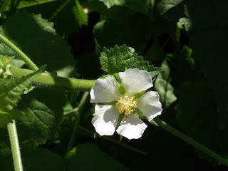 Kitaibela vitifolia - Malope vitifolia