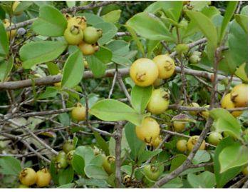 Contoh Teks Report Tanaman Jambu Guava