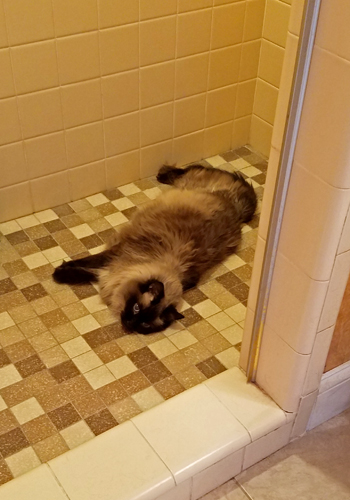 image of Matilda the Fuzzy Sealpoint Cat lying on the tiled floor of a shower