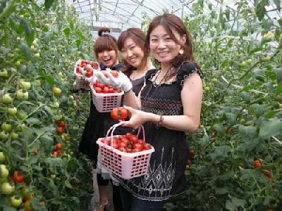 Tuyển 12 lao động nữ trồng cà chua tại Fukuoka