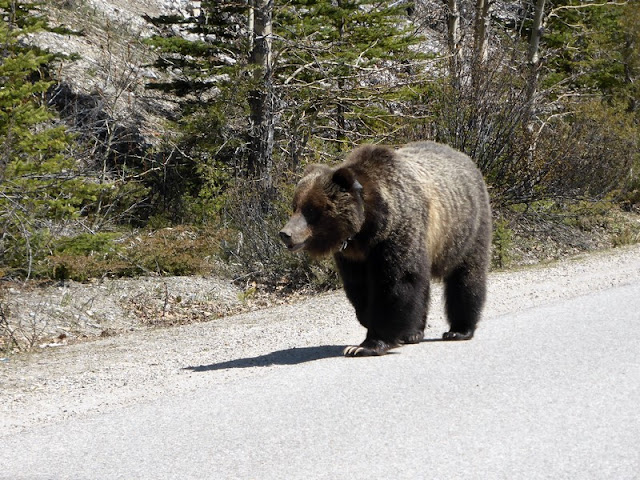 Grizzli en Banff