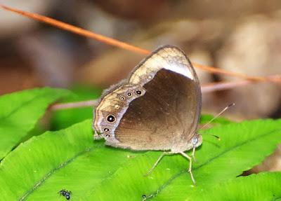 White-bar Bushbrown (Mycalesis anaxias)