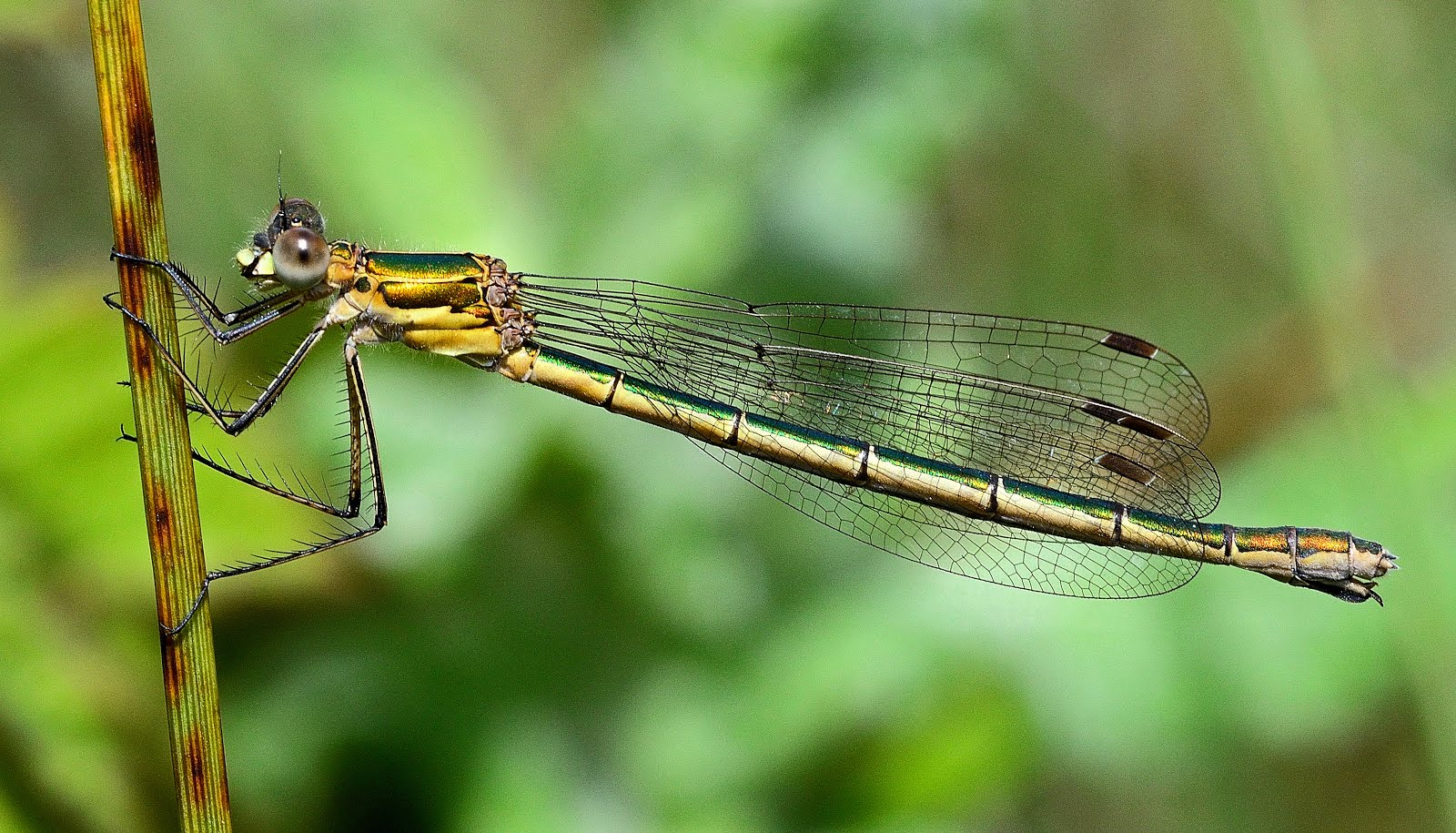 Southern Emerald Damselfly female