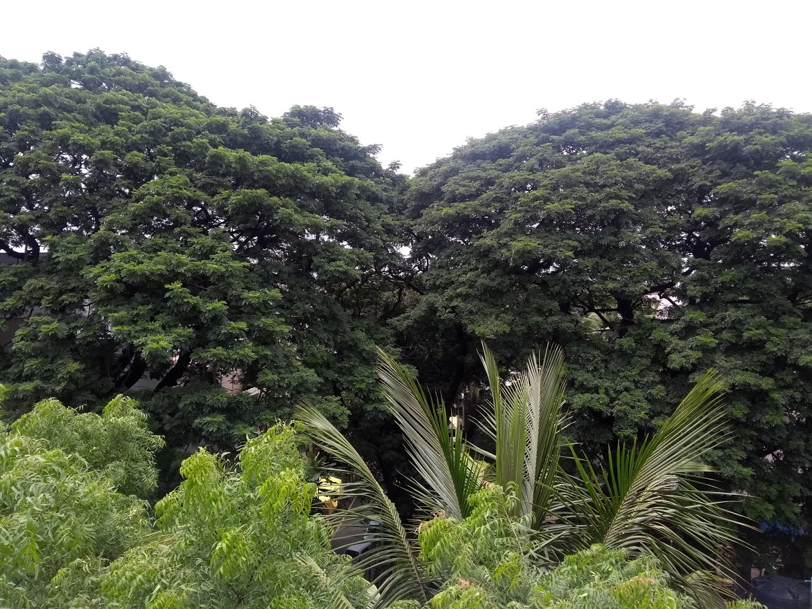Pune, Exotic tree, Avenue