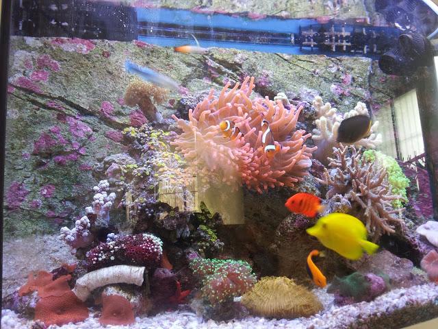 니모 열대 해수어(Reef Tank setup) 키우기