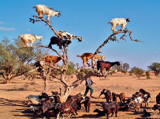 Tamri Goats in Trees