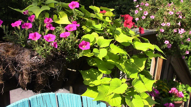 sweet potato vine and calibrachoa