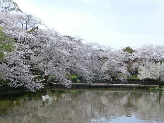 鶴岡八幡宮源氏池の桜