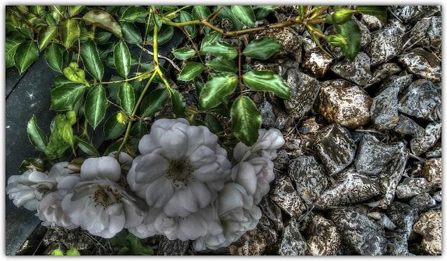 Foto de la semana: rosas