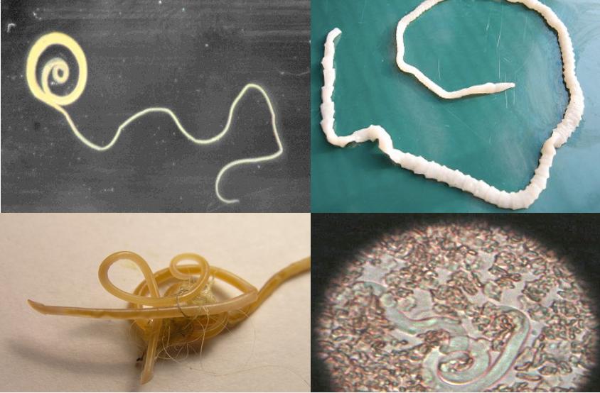 paraziták ízületei ürülék tojáshoz féreghez és kaparáshoz