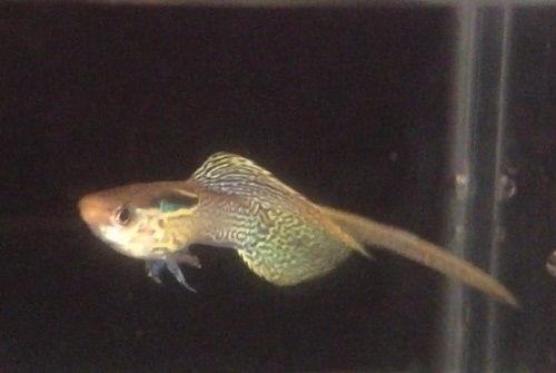 Contoh Gambar Gambar Ikan Guppy Top swordtail