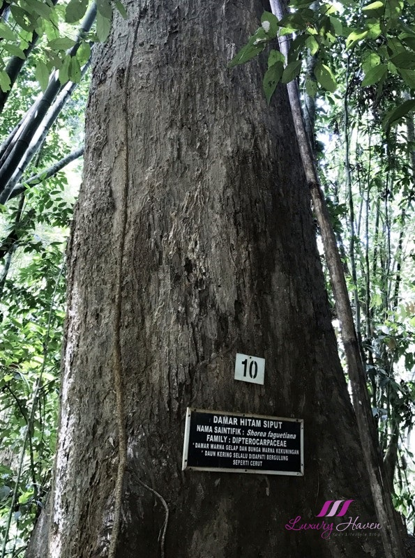 royal belum rainforest damar hitam siput tree