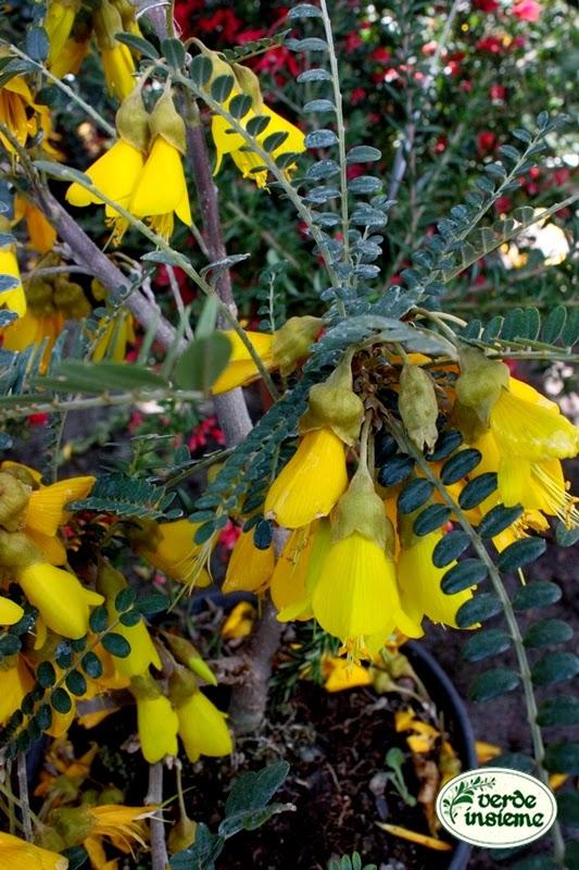 Ha Fiori Gialli A Grappolo Cruciverba.Sophora Microphylla Sun King