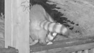 Raccoon Poops On Deck Rail