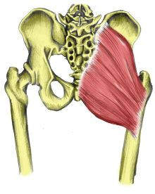 gluteus maximus muscle, action, muscle picture