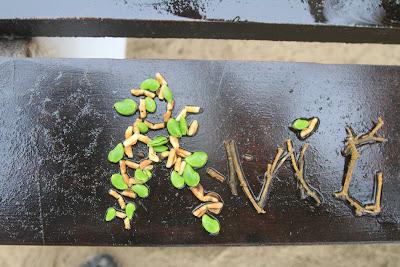 Avicennia germinans - Black Mangrove, Puerto Villamil, Isabela Island, Galápagos