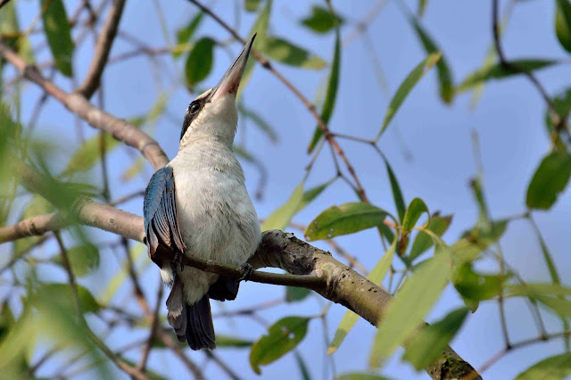 White Collared Kingfisher Birds of samshernagar sundarban tourism