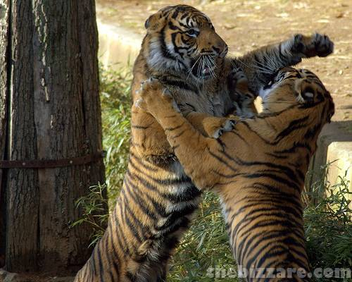 Fluffy And Cute Wallpapers Funny Cloud Tiger Pictures Funny Animal