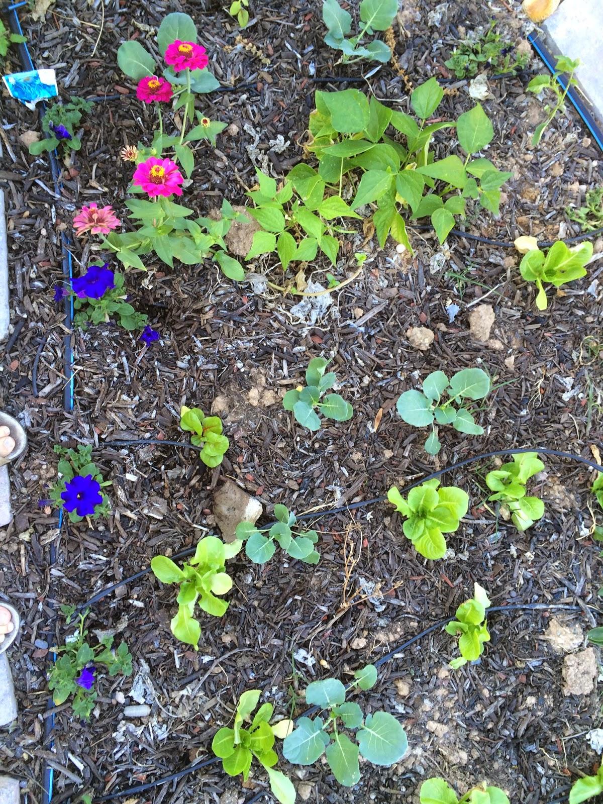Arizona Backyard Eden: November gardening