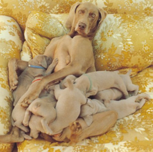 Weimaraner Dog Puppies